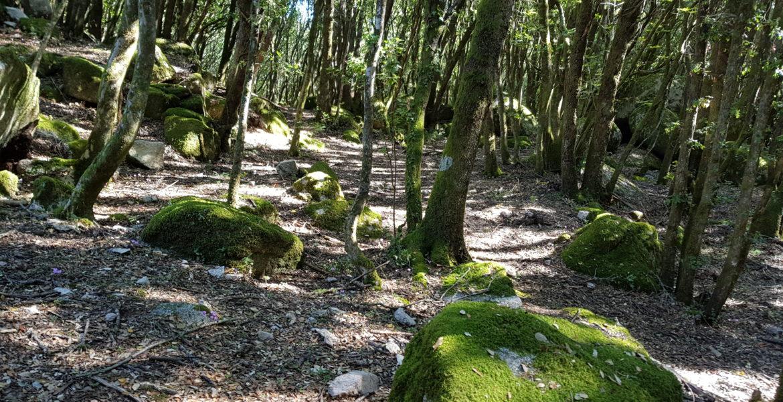 chenaie avec pierres recouvertes de mousse dans le site archéologique de cucuruzzu